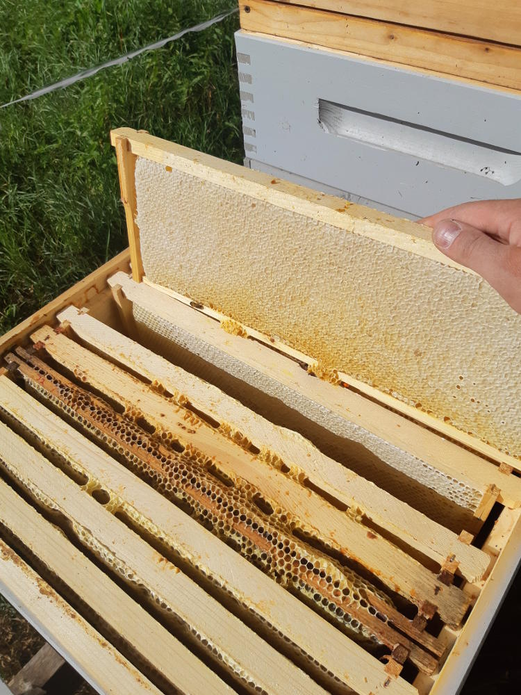 Hunajakennoja mehiläispesässä